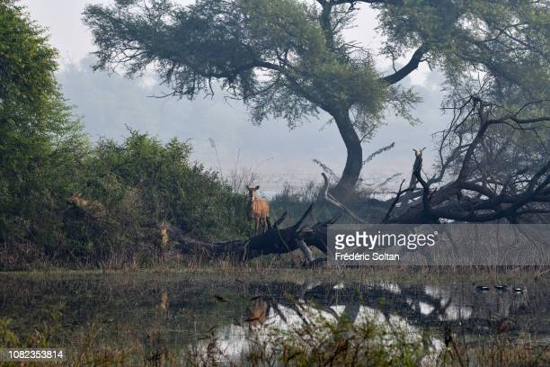 Nilgai in the landscape of wetland of Keoladev national park in Bharatpur on November 20 2018 in Rajasthan India