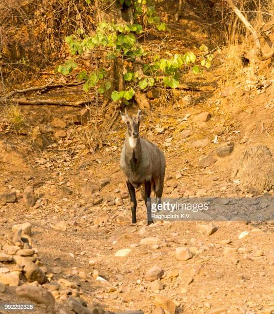 nilgai or blue bull - nilgai stock photos and pictures