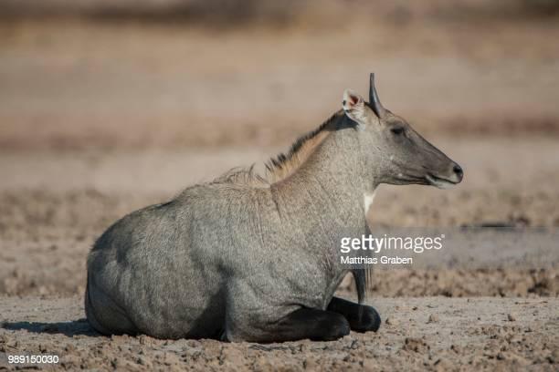 nilgai or nilgau (boselaphus tragocamelus), male, resting, little rann of kutch, gujarat, india - nilgai fotografías e imágenes de stock