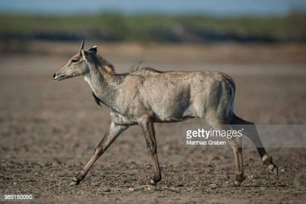 nilgai or nilgau (boselaphus tragocamelus), young male running, little rann of kutch, gujarat, india - nilgai fotografías e imágenes de stock