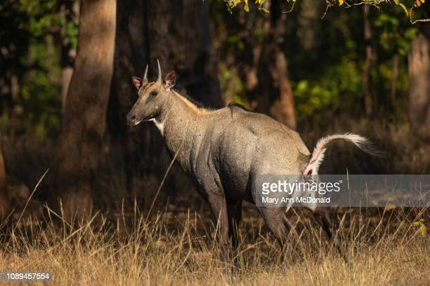 nilgai - nilgai stock photos and pictures