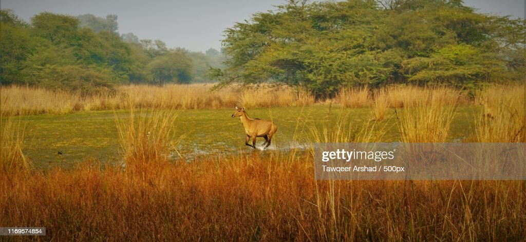 Nilgai : Stock Photo
