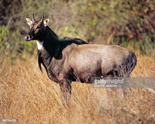Nilgai Ranthambore National Park India