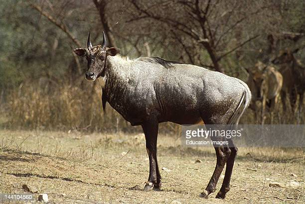 Nilgai Sariska Wildlife Sanctuary Rajasthan India