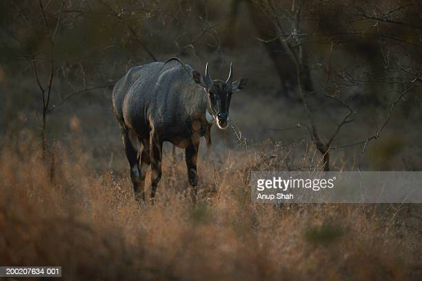 nilgai (boselaphus tragocamelus) standing and watching, gir n.p, india - nilgai stock photos and pictures