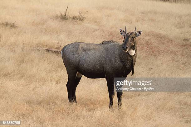 nilgai standing on grassy field at ranthambore national park - nilgai stock photos and pictures