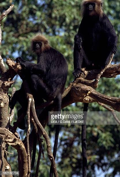 Nilgiri Langur Old World monkeys or Cercopithecidae