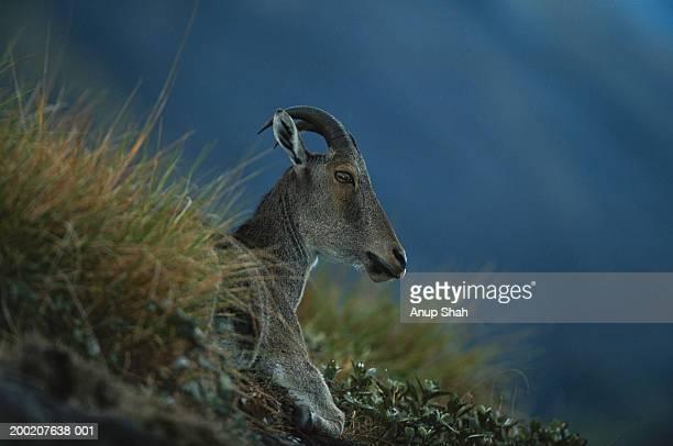 nilgiri tahr (hemitragus hylocrius) sitting and watching, eravikulam n.p, india - tar stock pictures, royalty-free photos & images