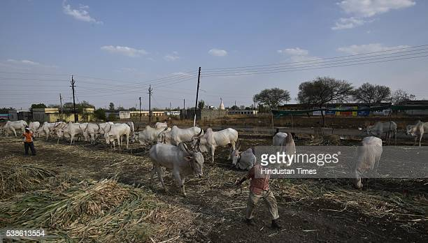 Nilkanteshwar Gadda a week long cattle market at Killari where farmers buy and sell cattle on April 13 2016 in Latur India Since this region faces 3...