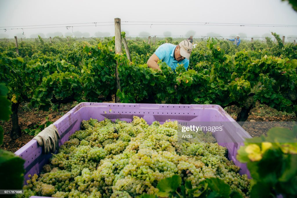 Hand picking in the Costieres de Nimes vineyard, morning mist.