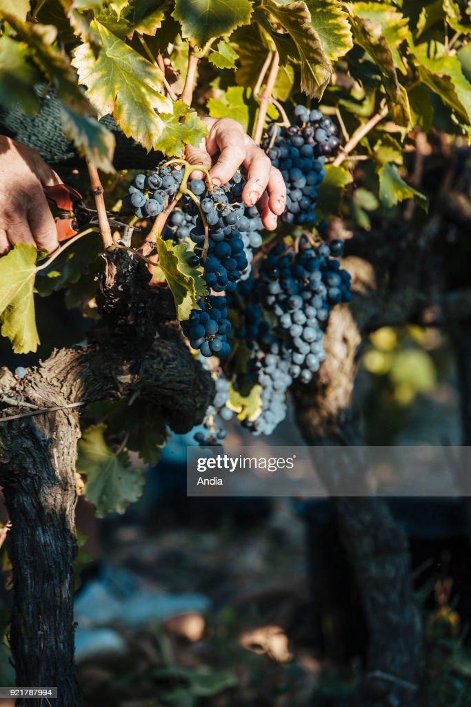 hand picking in the Costieres de Nimes vineyard.