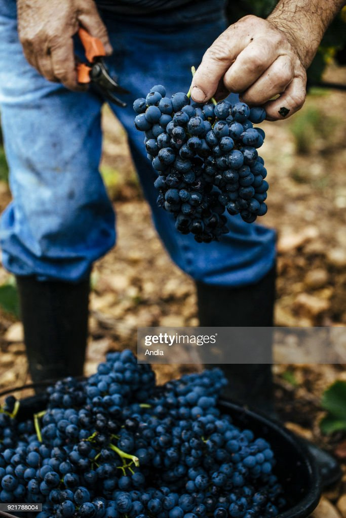 Hand picking in the Costieres de Nimes vineyard.