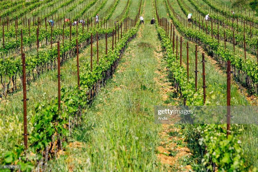 Nimes (south-eastern France) on : vineyard of Costieres de Nimes, workers, grape pickers working in the middle of the vines.