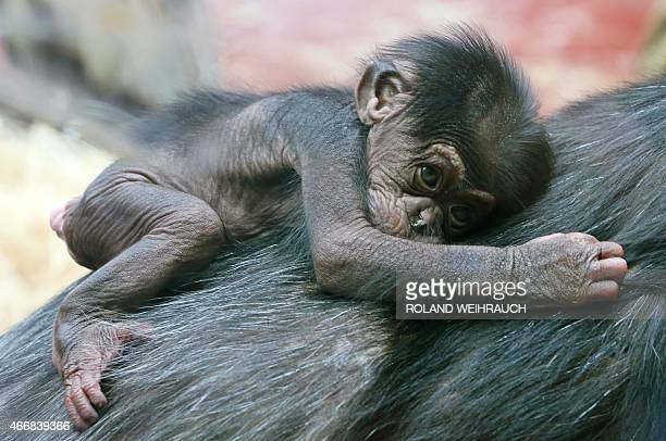 Nine day old baby chimpanzee Deyo sits on the back of it's mother Lady at the 'ZOOM' Zoo in Gelsenkirchen western Germany on March 19 2015 AFP PHOTO...
