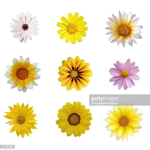 nine isolated daisies - flower part stock pictures, royalty-free photos & images