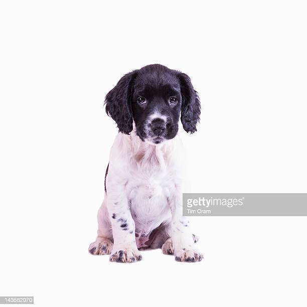 a nine week old english springer spaniel puppy - springer spaniel stock photos and pictures