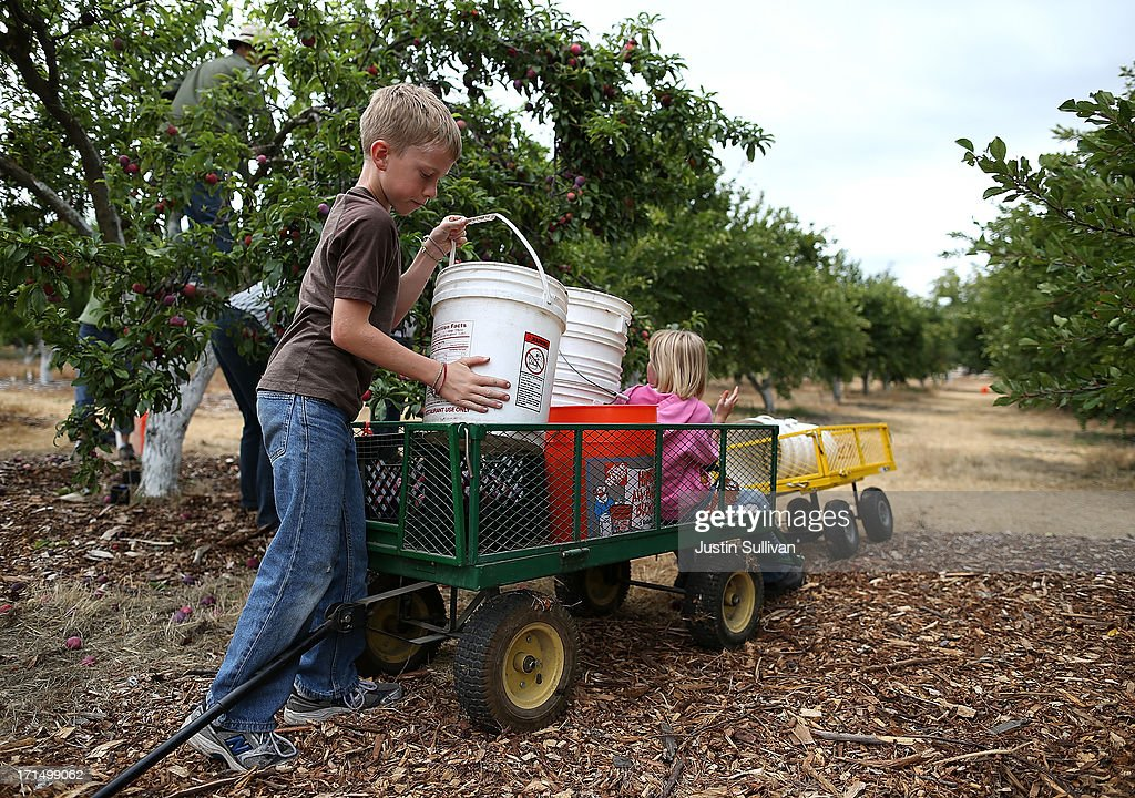 Nine year-old Village Harvest volunteer Nick Hays loads freshly picked plums onto a cart during the harvest of apricot trees at Guadalupe Historic Orchard on June 25, 2013 in San Jose, California. Village Harvest and other San Francisco Bay Area nonprofit groups are volunteering to pick excessive fruit from homeowners' yards and other plots of land to donate to food banks, soup kitchens and organizations that help the needy. Urban harvesting, or gleaning, aims to collect fruit that normally goes to waste after it goes unpicked and falls to the ground. Village Harvest has donated thousands of pounds of fruit to local organizations.