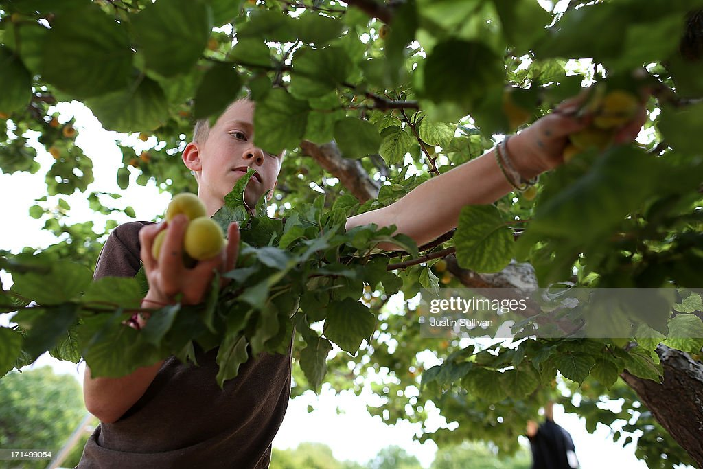 Nine year-old Village Harvest volunteer Nick Hays picks apricots during the harvest of apricot trees at Guadalupe Historic Orchard on June 25, 2013 in San Jose, California. Village Harvest and other San Francisco Bay Area nonprofit groups are volunteering to pick excessive fruit from homeowners' yards and other plots of land to donate to food banks, soup kitchens and organizations that help the needy. Urban harvesting, or gleaning, aims to collect fruit that normally goes to waste after it goes unpicked and falls to the ground. Village Harvest has donated thousands of pounds of fruit to local organizations.