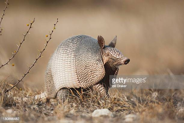nine-banded armadillo (dasypus novemcinctus), adult, sinton, corpus christi, coastal bend, texas, usa - armadillo stock pictures, royalty-free photos & images