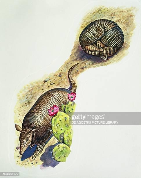 Ninebanded Armadillo Dasypodidae drawing