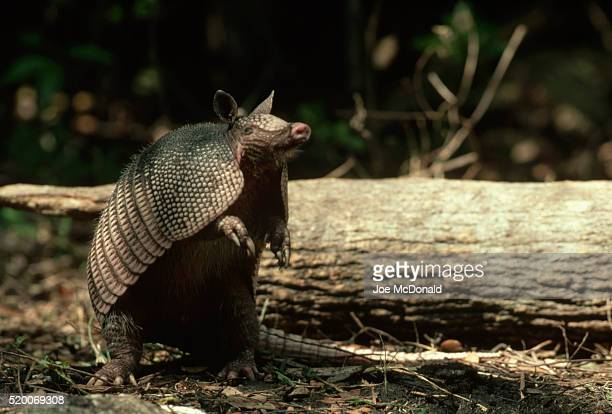 nine-banded armadillo on hind legs - armadillo stock pictures, royalty-free photos & images