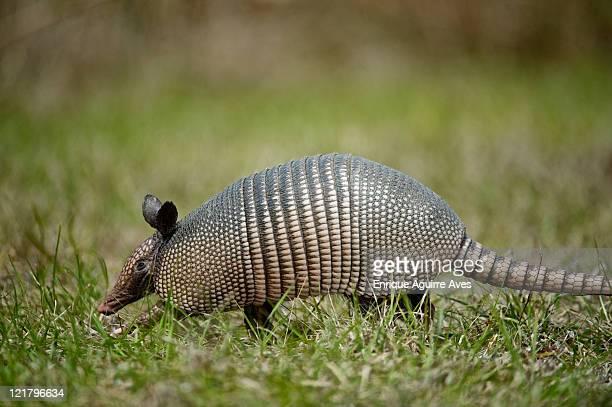 nine-banded armadillo (dasypus novemcinctus) walking through grass, florida, usa - armadillo stock pictures, royalty-free photos & images