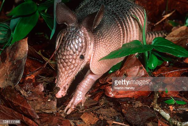 Nine-banded Long-Nosed Armadillo, Dasypus novemcinctus, searching for food in undergrowth. South America