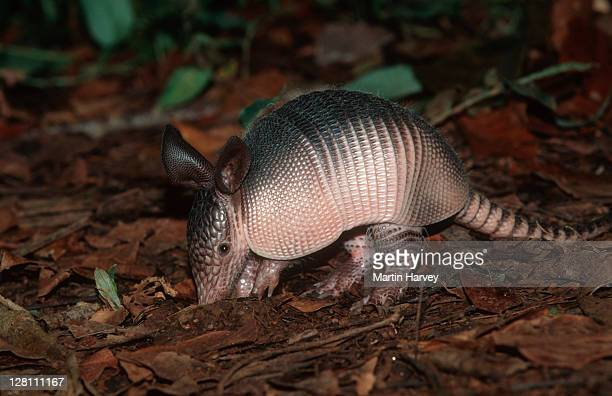 nine-banded long-nosed armadillo, dasypus novemcinctus, searching for food in undergrowth. south america - armadillo stock pictures, royalty-free photos & images
