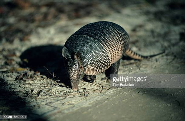 Nine-banded, long-nosed armadillo, North America