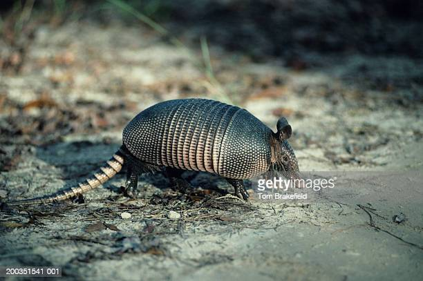 nine-banded, long-nosed armadillo, north america - armadillo stock pictures, royalty-free photos & images