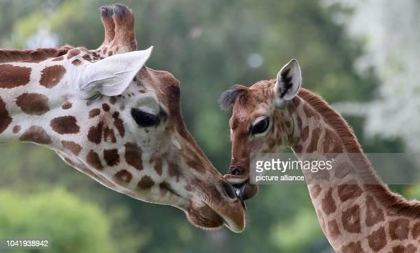 Ninedayold giraffe Bine licks the nose of its giraffe aunt Andrea at Friedrichsfelde Zoo in BerlinGermany 09 May 2014 The baby giraffe was born on...