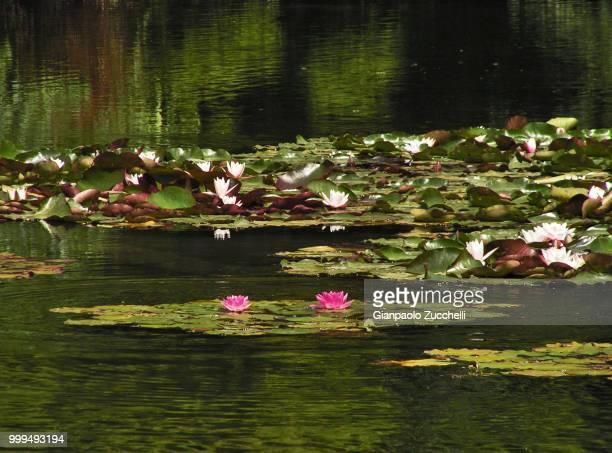 Ninfee nel laghetto al Parco Sempione a Milano