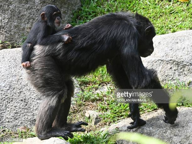 Nini a chimpanzee baby born in January 2018 clings to her 39yearold mother Bianca while inside an esclosure at the Singapore Zoo on February 22 2019...