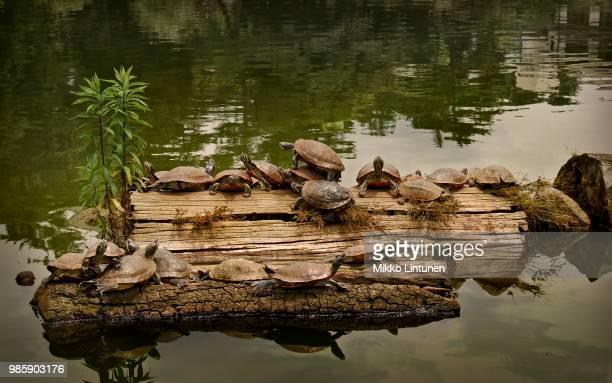 ninja turtles in nara - caenorhabditis elegans stock pictures, royalty-free photos & images