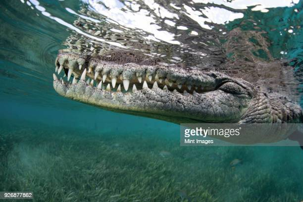 nino, a socially interactive crocodile at the garden of the queens, cuba. underwater shot, close up of the animal snout. - fang stock pictures, royalty-free photos & images