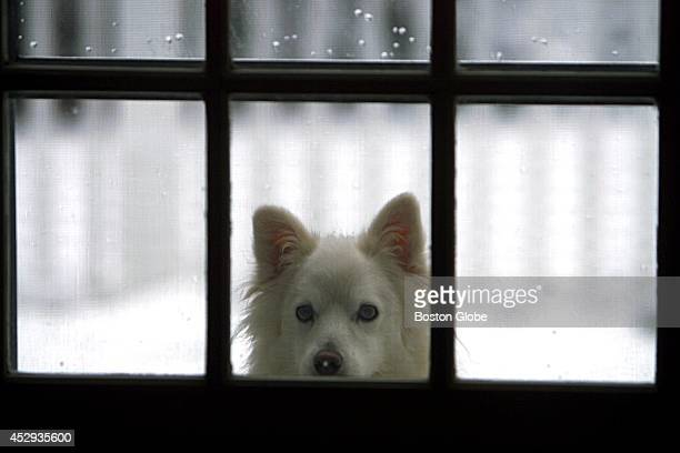 Ninock an American Eskimo dog should like the cold and freshly fallen snow outside but peers through a kitchen window wanting to come in at the...