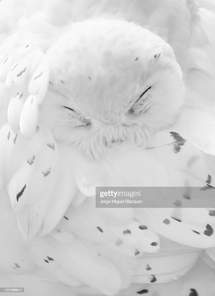 Nival owl : Foto de stock