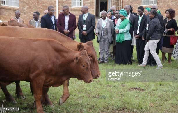 Nkosazana DlaminiZuma receives cows from Inkosi Thulabezwa Dlamini during the prayer party organized by the Dlamini Clan in her home Bulwer on...