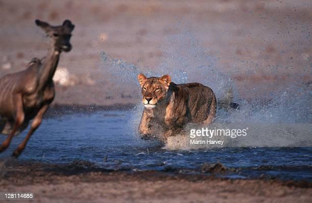 lioness, panthera leo, attacking and killing kudu prey. etosha national park. namibia. - no. 3 in a series of 8 - leones cazando fotografías e imágenes de stock