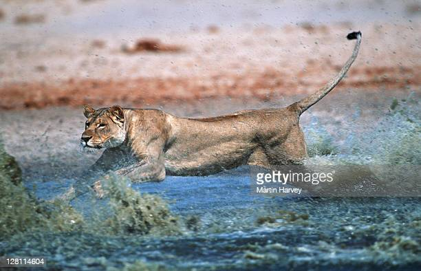 LIONESS STALKING AND CHASING PREY. PANTHERA LEO. ETOSHA NATIONAL PARK. NAMIBIA. - No. 4 in a series of 8