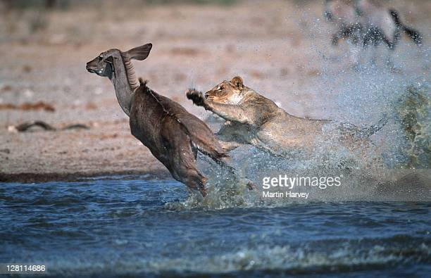 lioness, panthera leo, attacking and killing kudu prey. etosha national park. namibia. - no. 6 in a series of 8 - lion attack stock pictures, royalty-free photos & images