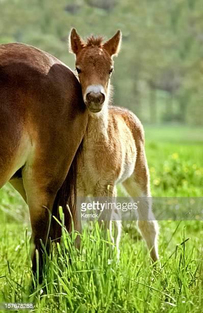 no, i am not afraid... exmoor pony foal - exmoor national park 個照片及圖片檔