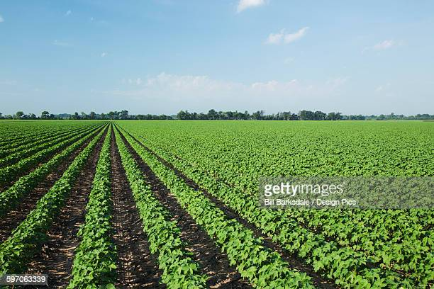 No till cotton plants at mid square set stage