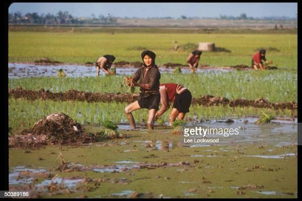 No. Vietnamese peasants working in rice paddies.