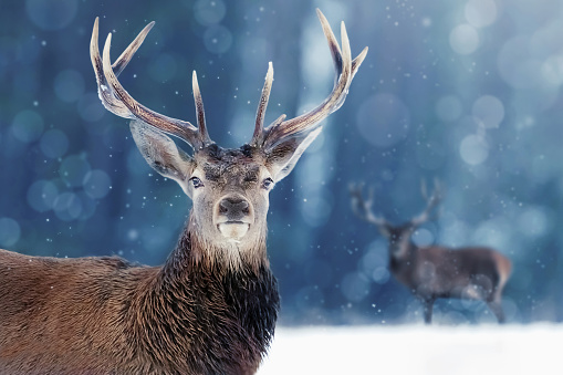 Noble deer male in winter snow forest. Winter christmas image. 1044035876