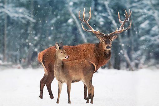 A noble deer male with female in the herd against the background of a beautiful winter snow forest. Artistic winter landscape. 1044035852