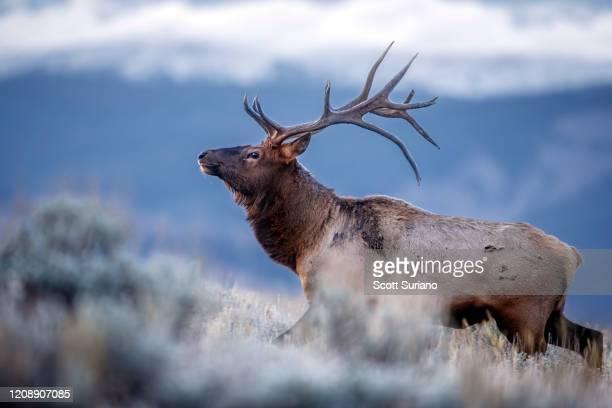 noble elk - アカシカ ストックフォトと画像