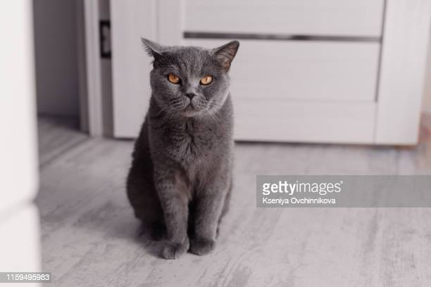 1 923 British Shorthair Cat Photos And Premium High Res Pictures Getty Images