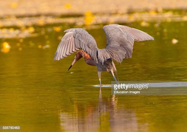 Nobody Florida Sanibel Island Ding Darling National Wildlife Refuge Reddish Egret hunting Wings Raised to create shadow
