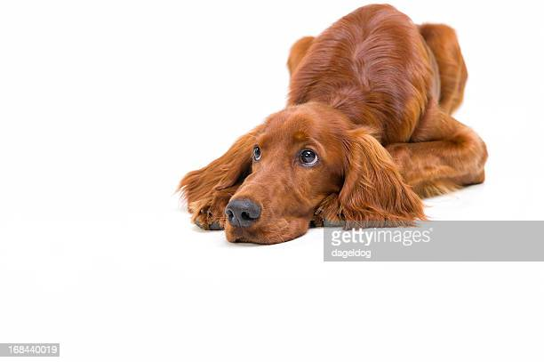 ea64c3e7182 60 Top Irish Setter Dog Pictures, Photos, & Images - Getty Images